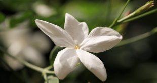 صور ورد الياسمين , اجمل الورود الياسمينية