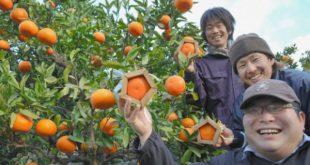 الزراعة في اليابان , صور ابدعات اليابانيين في الزراعة