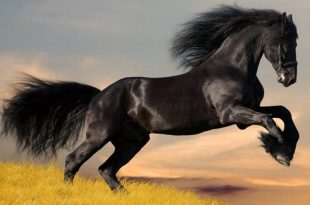 صوره اجمل الخيول العربية , مجموعة رائعة ومميزة