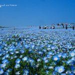 المنتزه الازرق في اليابان , صور زهور بالون السماء الصافي