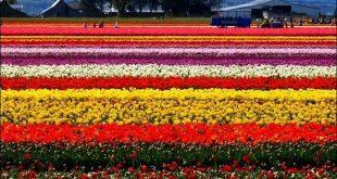 اجمل مزارع العالم , مزارع الزهور في هولندا