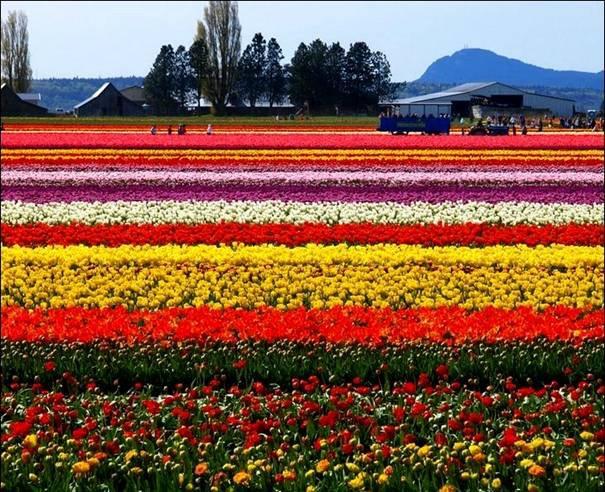 صورة اجمل مزارع العالم , مزارع الزهور في هولندا