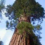 اطول شجرة في العالم , صور لشجر السكويا العملاق
