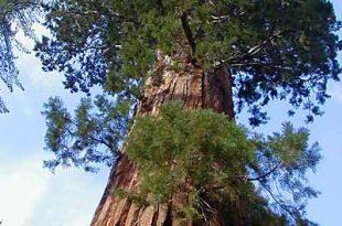 صورة اطول شجرة في العالم , صور لشجر السكويا العملاق