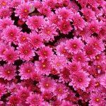 خلفيات ورود ورديه , صور ازهار رائعة مبهجة