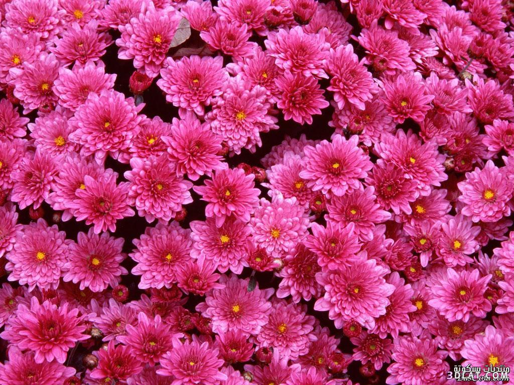 صور خلفيات ورود ورديه , صور ازهار رائعة مبهجة