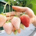 صور فراولة بيضاء , فاكهة نادرة وغريبة
