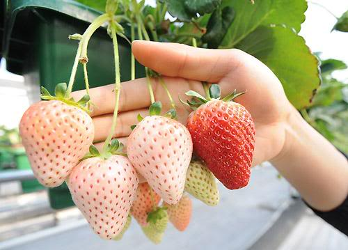 صوره اغرب الفواكه في العالم , شاهد فاكهة باشكال غريبة