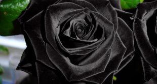 الورد الاسود من الغرائب , ظاهرة نادرة في فيتنام