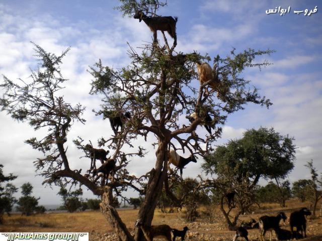 صورة صور شي عجيب , شجرة الاركان في المغرب 3182 1