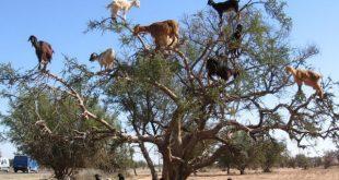 صورة صور شي عجيب , شجرة الاركان في المغرب