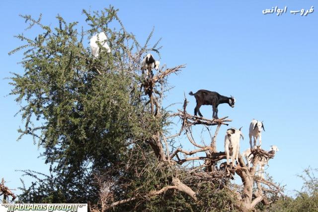 صورة صور شي عجيب , شجرة الاركان في المغرب 3182 3
