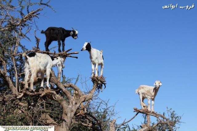 صورة صور شي عجيب , شجرة الاركان في المغرب 3182 4