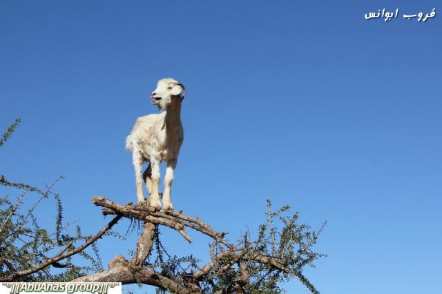 صورة صور شي عجيب , شجرة الاركان في المغرب 3182 5