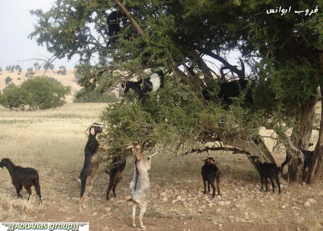صورة صور شي عجيب , شجرة الاركان في المغرب 3182 6