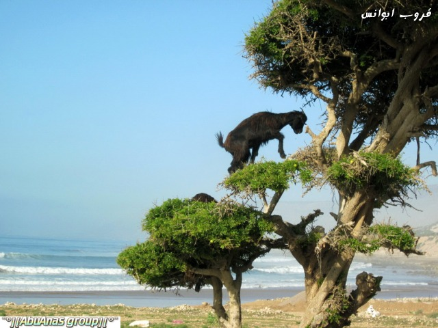 صورة صور شي عجيب , شجرة الاركان في المغرب 3182 7