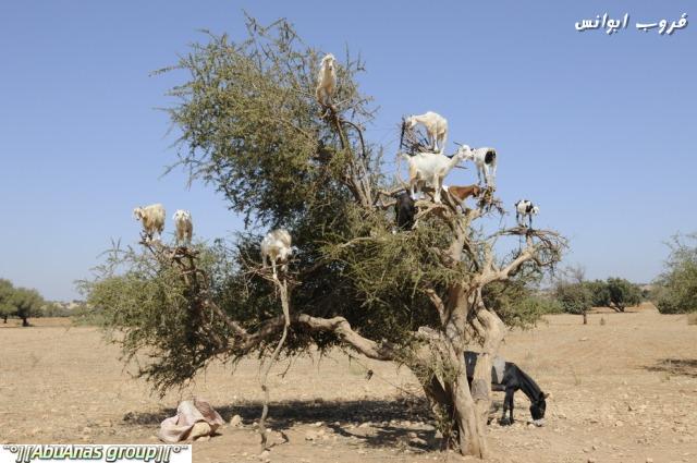 صورة صور شي عجيب , شجرة الاركان في المغرب 3182 8