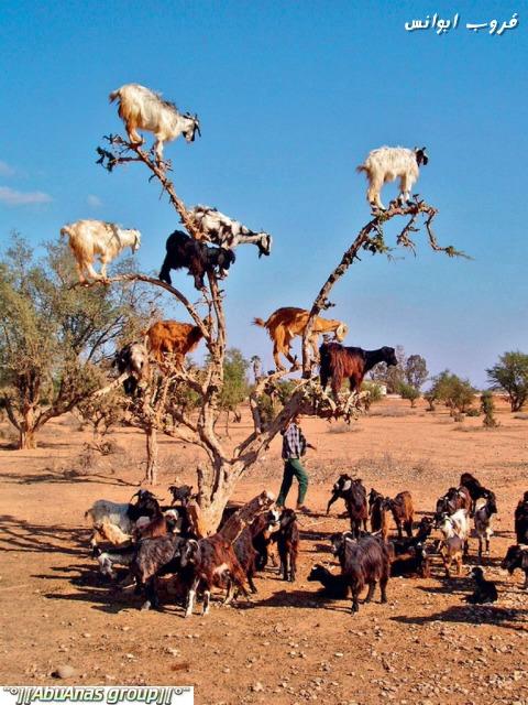 صورة صور شي عجيب , شجرة الاركان في المغرب 3182 9