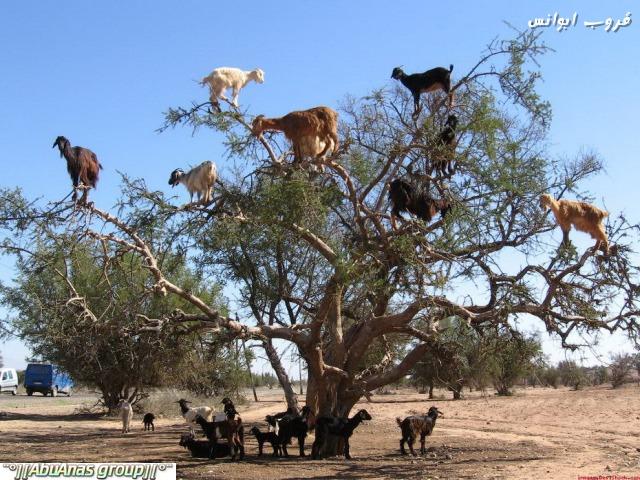 صورة صور شي عجيب , شجرة الاركان في المغرب 3182