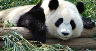 اجمل حيوان بالعالم , دب الباندا اندر انواع الدببة