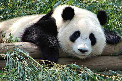 صورة اجمل حيوان بالعالم , دب الباندا اندر انواع الدببة