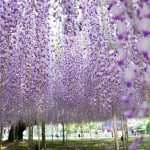 الزهور في اليابان , سحر الطبيعة الجذابة