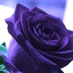 اجمل باقة ورد , الورد الهديه الوحيده التى تعبر عن الحب