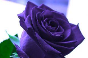صوره اجمل باقة ورد , الورد الهديه الوحيده التى تعبر عن الحب