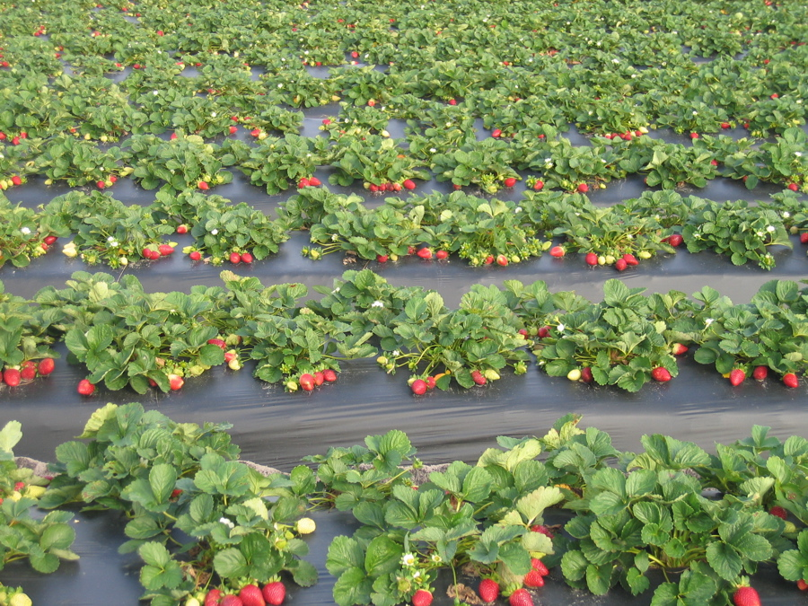 بالصور مراحل نمو الفراولة شي عجيب , الفراولة في مراحل نموها 261 1
