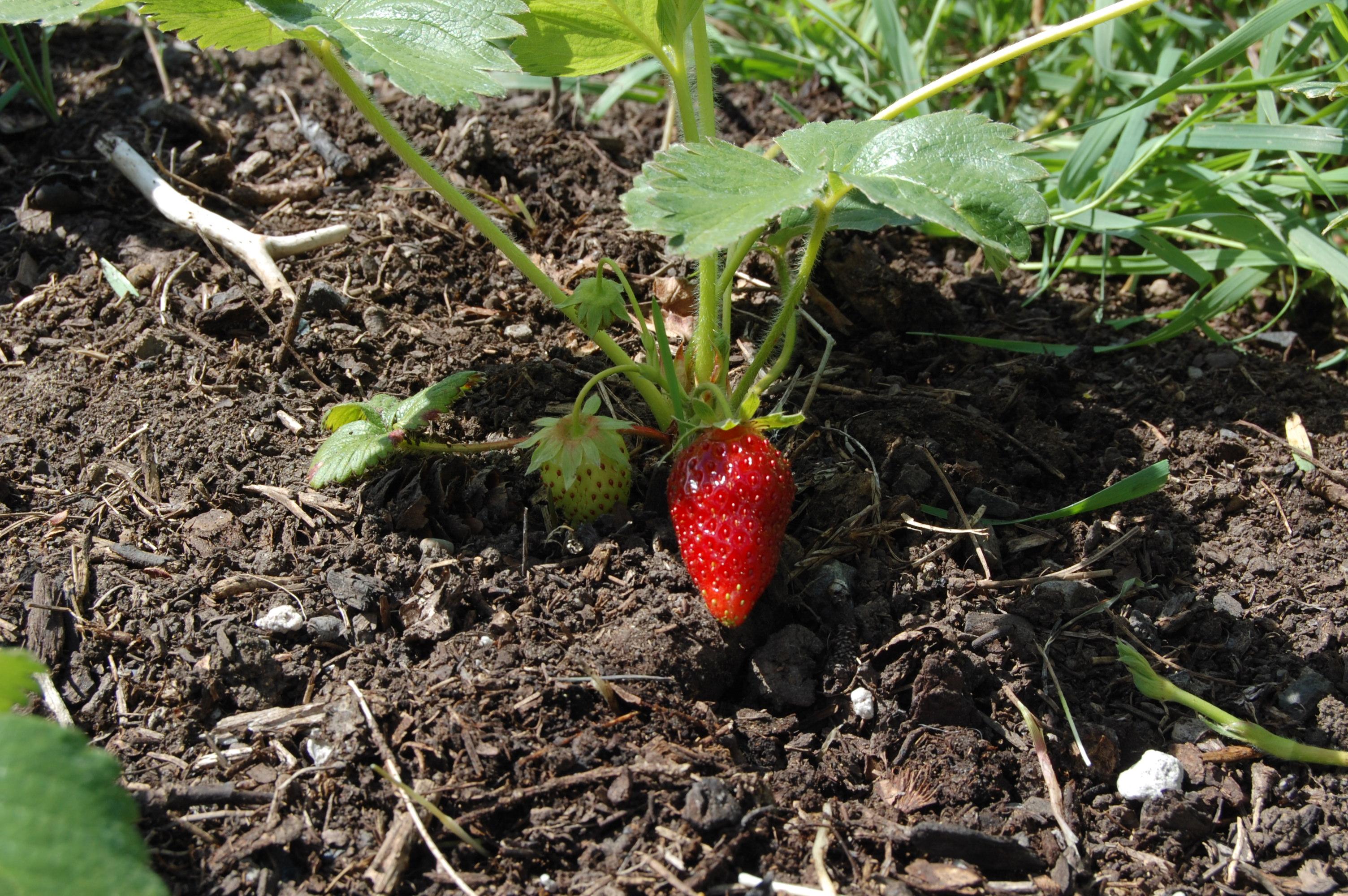 بالصور مراحل نمو الفراولة شي عجيب , الفراولة في مراحل نموها 261 2