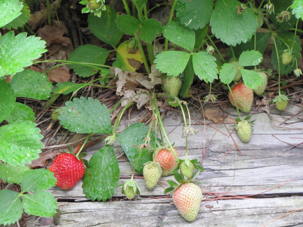 بالصور مراحل نمو الفراولة شي عجيب , الفراولة في مراحل نموها 261 3
