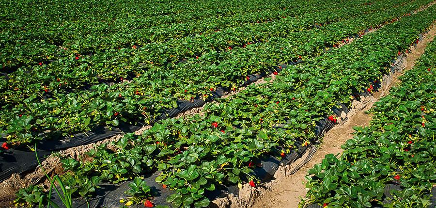 صورة مراحل نمو الفراولة شي عجيب , الفراولة في مراحل نموها