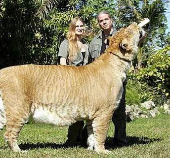 صوره اكبر نمر في العالم , صور الاتي جسم نمر وراس اسد