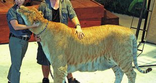 صور اكبر نمر في العالم , صور الاتي جسم نمر وراس اسد