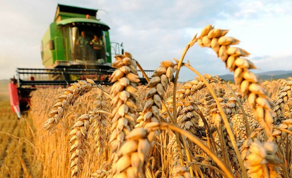 صوره صور مزارع القمح , روعة حقول الذهب الاصفر
