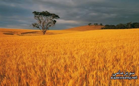 بالصور صور مزارع القمح , روعة حقول الذهب الاصفر 2663 10