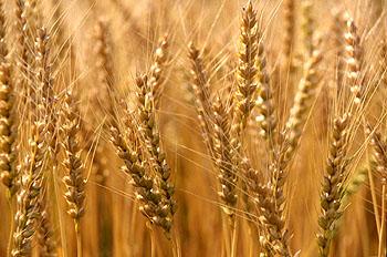 بالصور صور مزارع القمح , روعة حقول الذهب الاصفر 2663 11