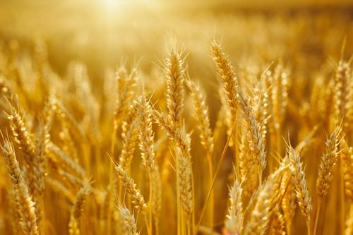 بالصور صور مزارع القمح , روعة حقول الذهب الاصفر 2663 12