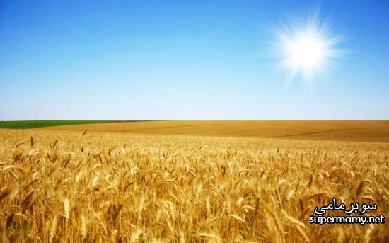 بالصور صور مزارع القمح , روعة حقول الذهب الاصفر 2663 2