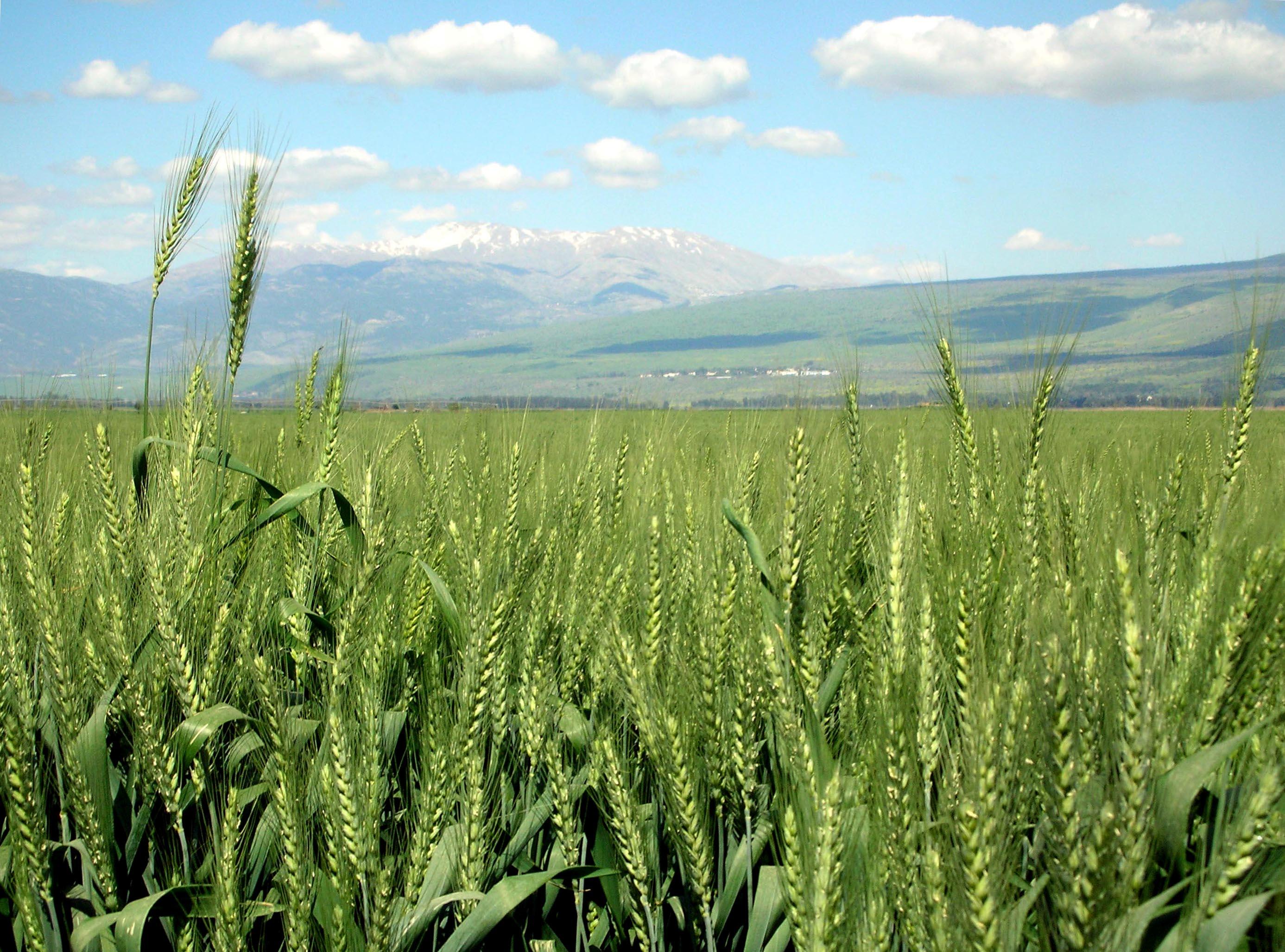 بالصور صور مزارع القمح , روعة حقول الذهب الاصفر 2663 3
