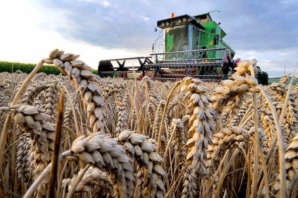 بالصور صور مزارع القمح , روعة حقول الذهب الاصفر 2663 4