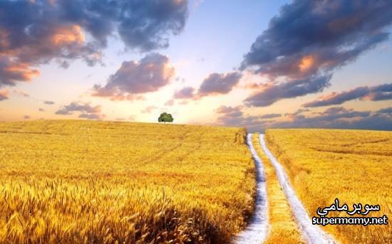 بالصور صور مزارع القمح , روعة حقول الذهب الاصفر 2663 5
