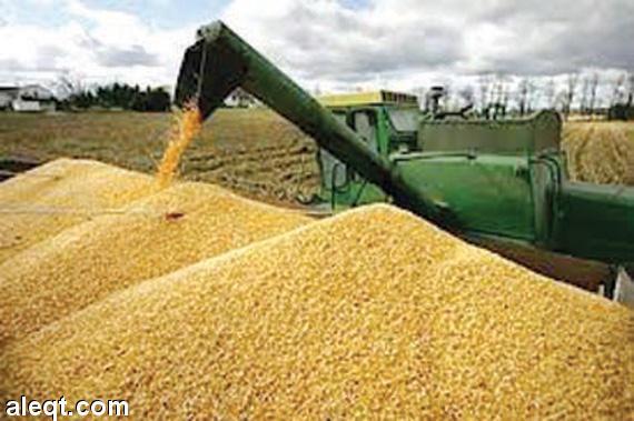 بالصور صور مزارع القمح , روعة حقول الذهب الاصفر 2663 6