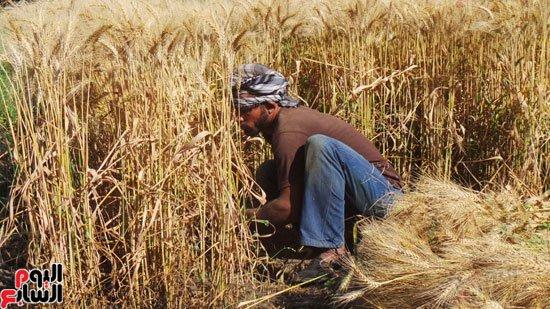 بالصور صور مزارع القمح , روعة حقول الذهب الاصفر 2663 8