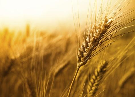 بالصور صور مزارع القمح , روعة حقول الذهب الاصفر 2663 9