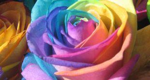 اغرب وردة في العالم , صور زهرة قوس قزح من اروع الزهور
