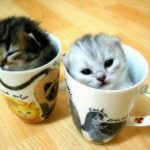 اصغر قطه في العالم , قطة الفنجان ذات الحجم الصغير