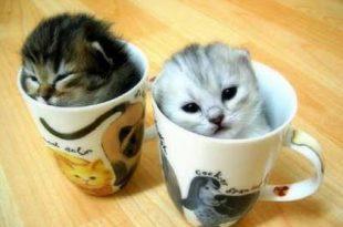 صور اصغر قطه في العالم , قطة الفنجان ذات الحجم الصغير