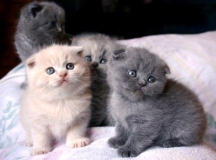 بالصور اصغر قطه في العالم , قطة الفنجان ذات الحجم الصغير 2755 4