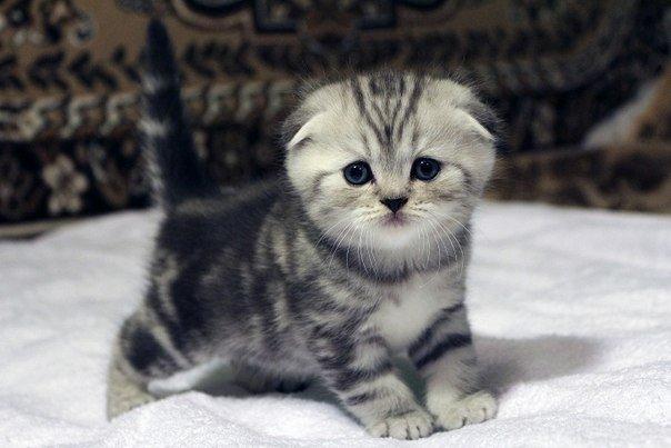 بالصور اصغر قطه في العالم , قطة الفنجان ذات الحجم الصغير 2755 5